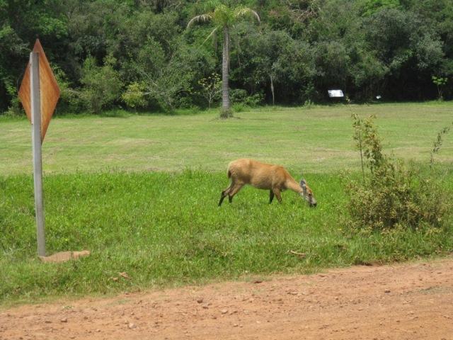 Ibera ciervo 2